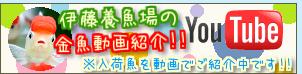 【伊藤養魚場YouTubeページ】