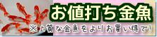在庫紹介【お値打ち金魚】