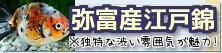 在庫紹介【弥富産江戸錦】