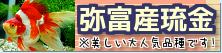 在庫紹介【弥富産琉金】