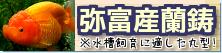 在庫紹介【弥富産蘭鋳】