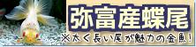 在庫紹介【弥富産蝶尾】