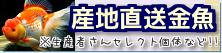 在庫紹介【産地直送金魚】